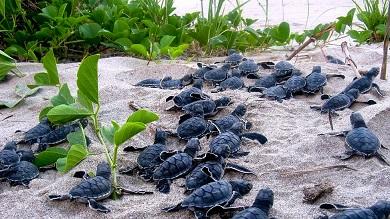 baby turtles - PASO PACIFICO