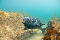 grey-seal-in-thongweed-gully-photo-by-paul-naylor