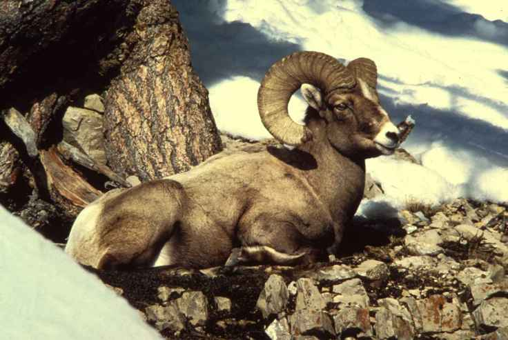Rocky_mountain_bighorn_sheep_ram_male_buck_animal