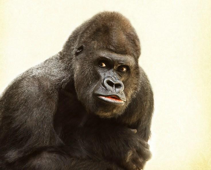 gorilla-448731_1920