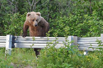 bear climbing over a road barrier