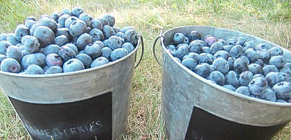 Blueberry Picking and Top 5 Blueberry Recipes!