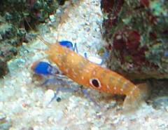 Michaels Pistol Shrimp