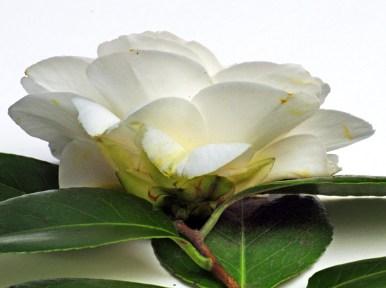 camellia persp iii