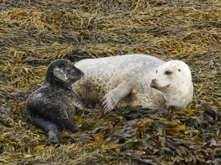 Harbor seal with baby on a wildlife boat trip near Oban