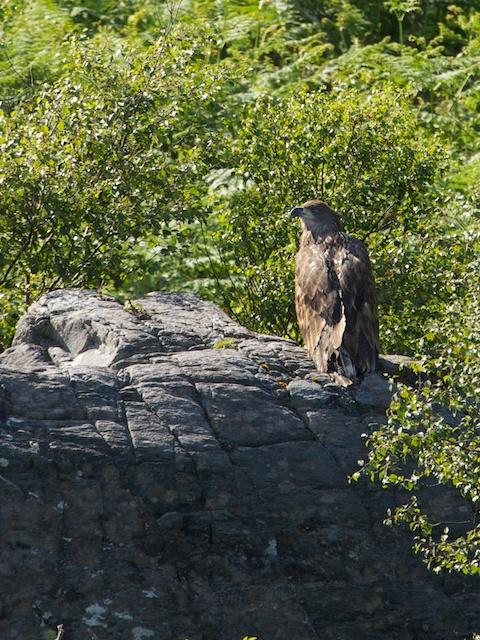 2nd_eagle_fledged