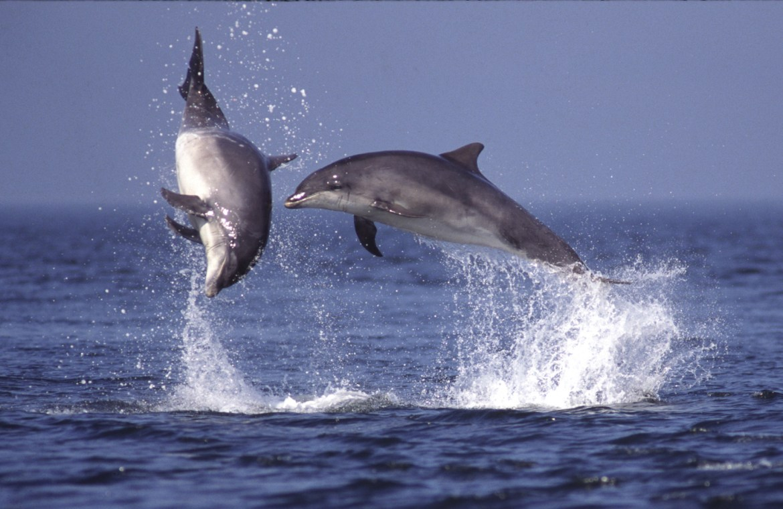 Bottlenose dolphin watching near Oban