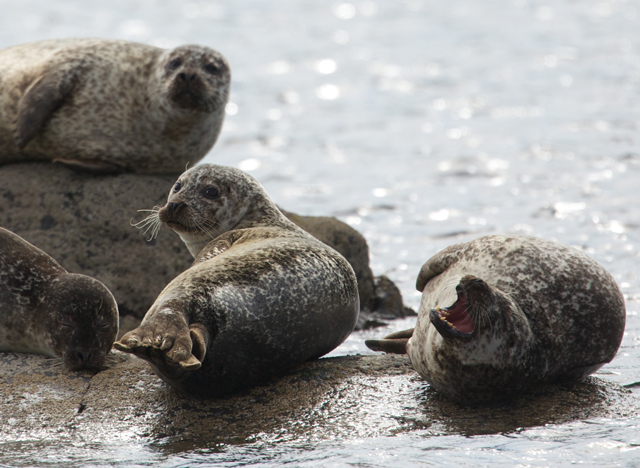 Common-Seal-group