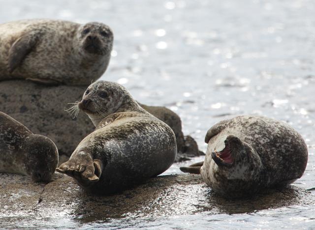 Sealife Adventures harbor seal group yawning