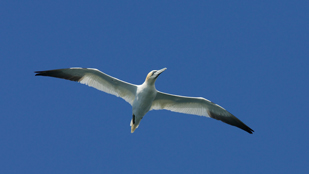 gannet-for-web