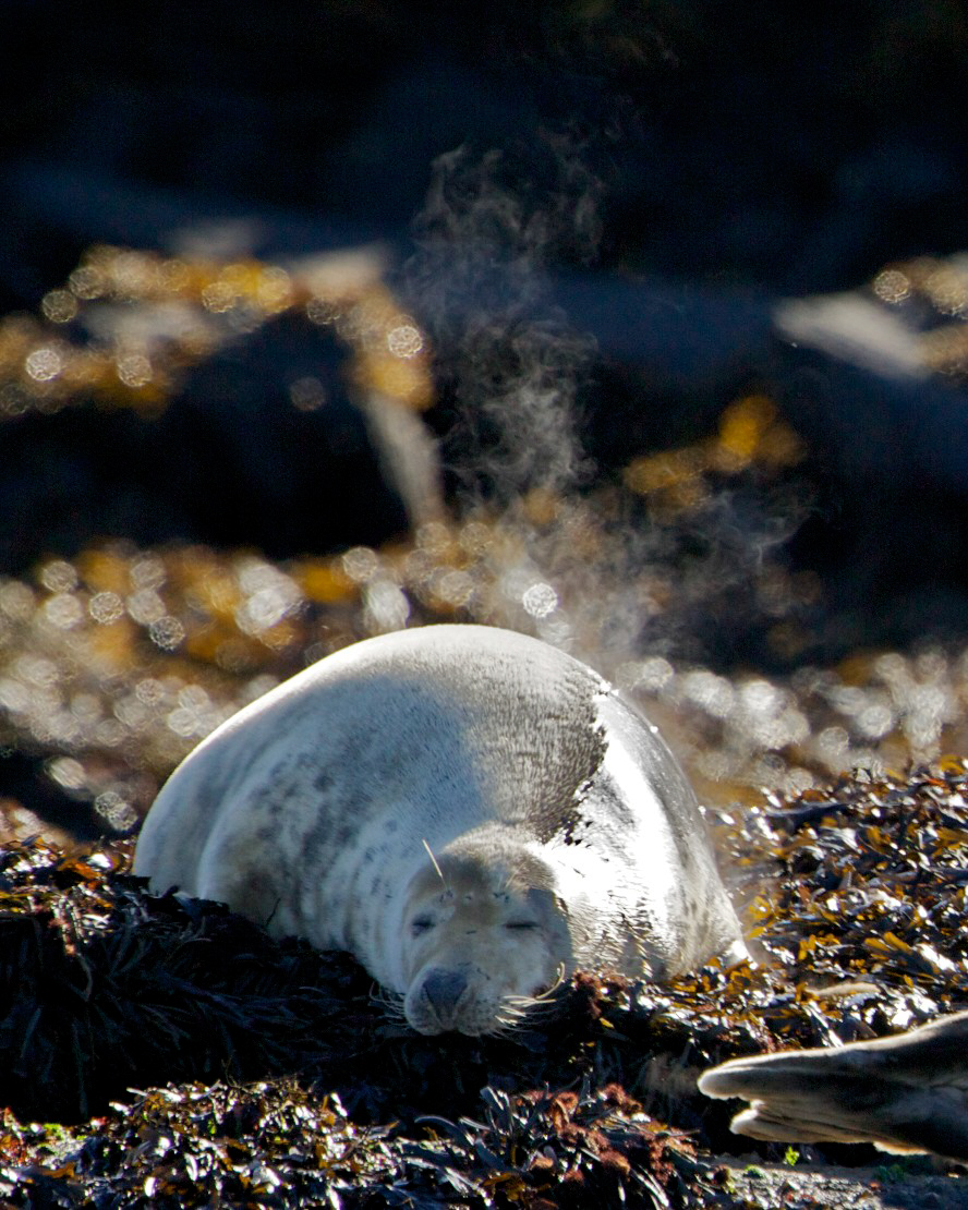 grey seal sleeps in the autumn sun, a great time for coming out on a wildlife boat trip near Oban
