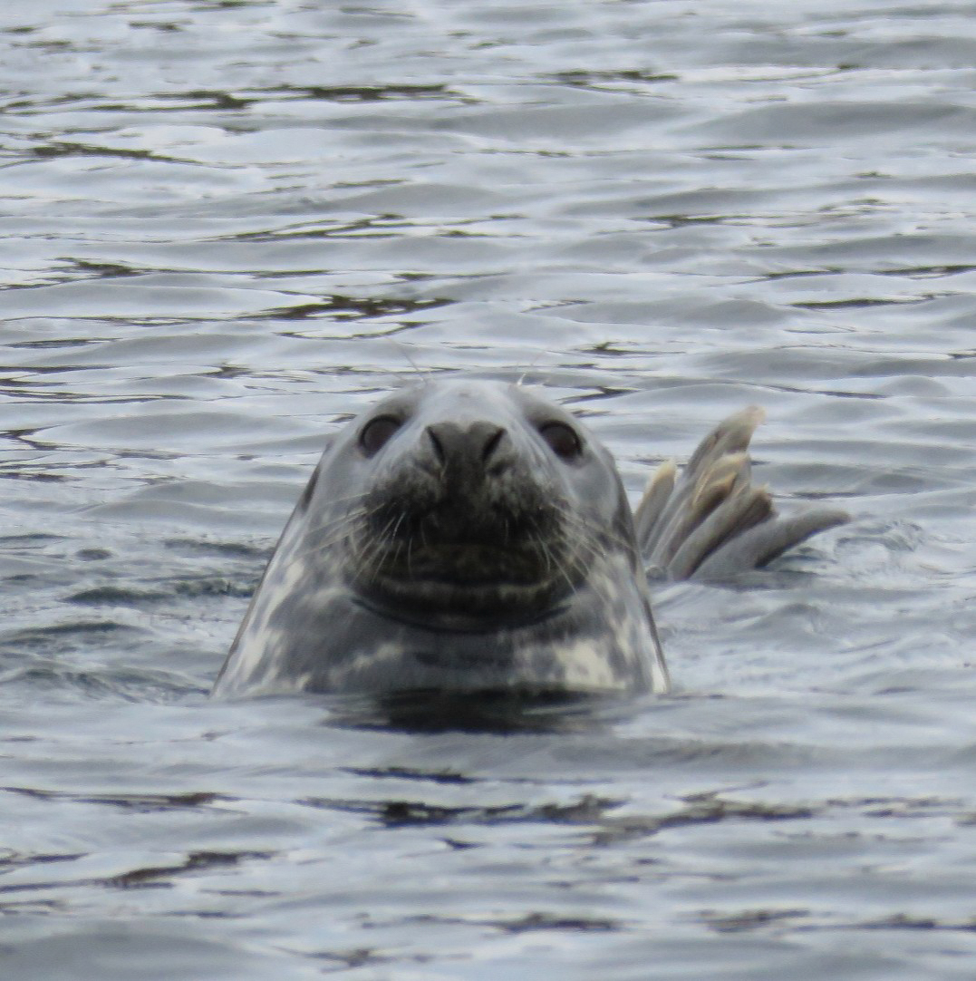 grey seal looks awkwardly at guests on a scottish sea boat trip