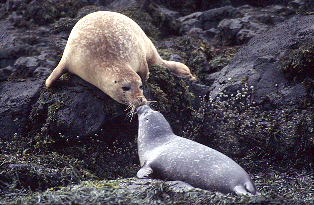Harbor seal and her pup kiss