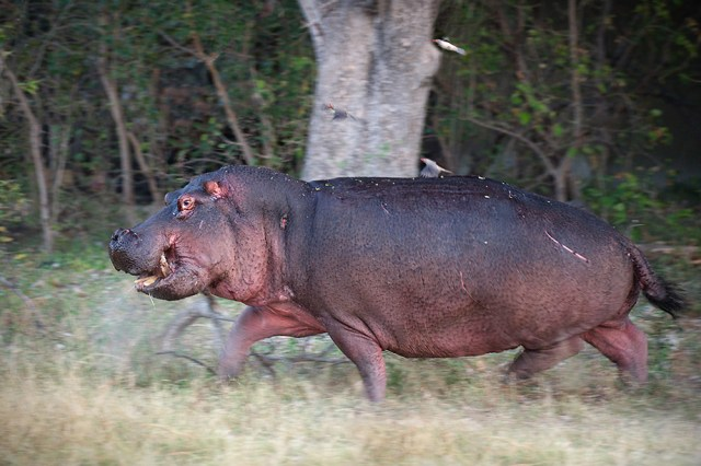 how fast can hippos run