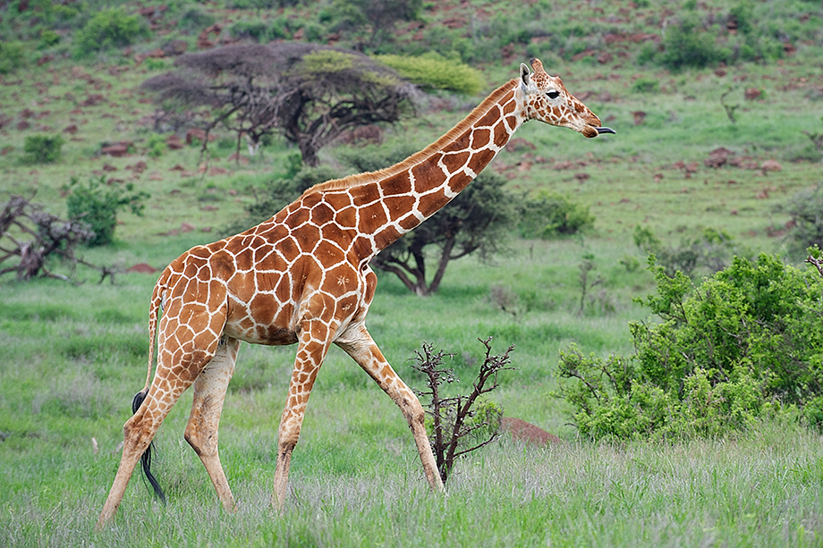 the giraffes tongue is