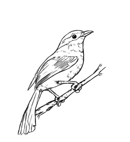 Mockingbird Bird Drawing Sketch Coloring Page