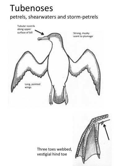 Plodding progress on Field Guide to SE Beached Birds