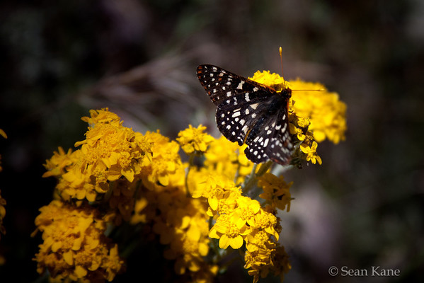 Variable Checkerspot -  Euphydryas chalcedona