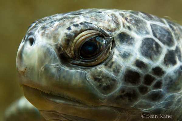 Black Sea Turtle