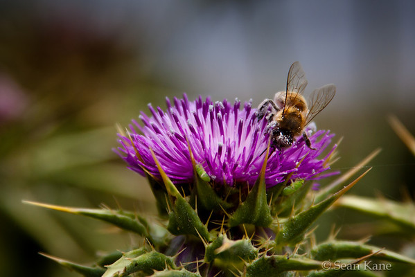 Honeybee and Thistle - Apis mellifera - Silybum marianum - Schizaphis graminum