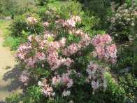 A rhodondrendron in bloom