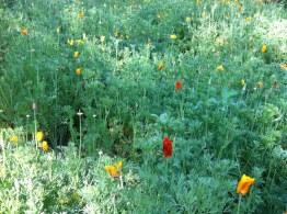Native California wildflowers