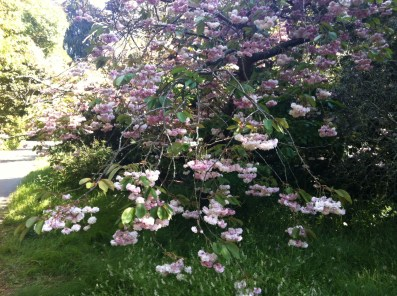 さくら!Bring on the cherry blossoms.