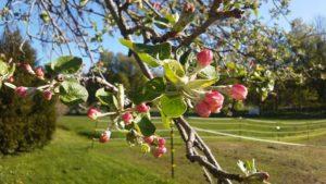apple_blossoms_ACIM