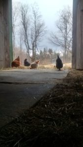 chickens at the barn door