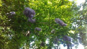 sideyard lilac