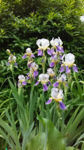 Irises_I_is_a_detail