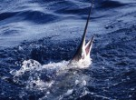 Z7_Sailfishing-Off-Jupiter