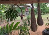 bananas and bird nests