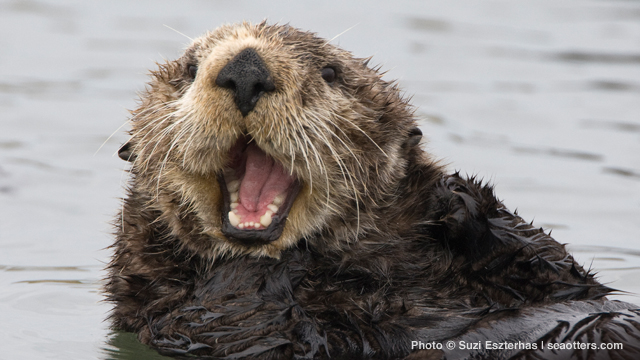 Cute Baby And Mom Wallpaper California Sea Otter Fund Seaotters Com