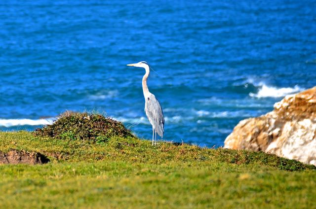 Blue heron keeping watch on the bluff of the