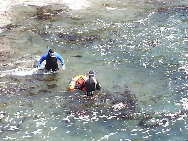 trophy abalone diving, Abalone Divers, Sea Ranch, Abalone Season, abalone,sea ranch weather, ocean temperatures