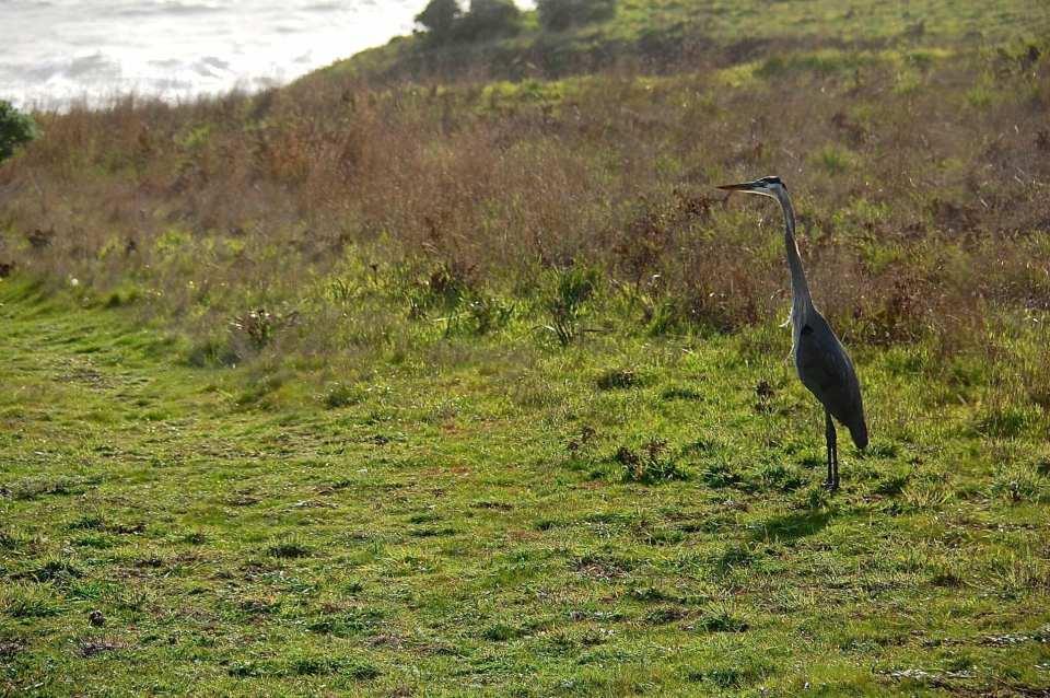 Sea Ranch Activities, blue heron