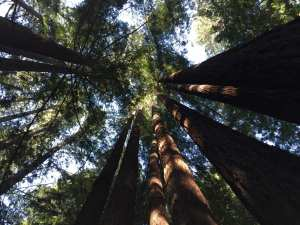 Sea Ranch activities, redwood forest