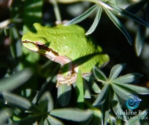 tree frogs, treefrogs,Sierran Chorus Treefrog , Sea Ranch, Abalone Bay