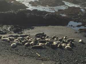 Sea Ranch harbor seals,sea ranch road trip,sea ranch rentals road trip,sea ranch rentals, road trip