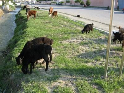 サマルカンド、路肩に居たヤギたち【ウズベキスタン(サマルカンド)】