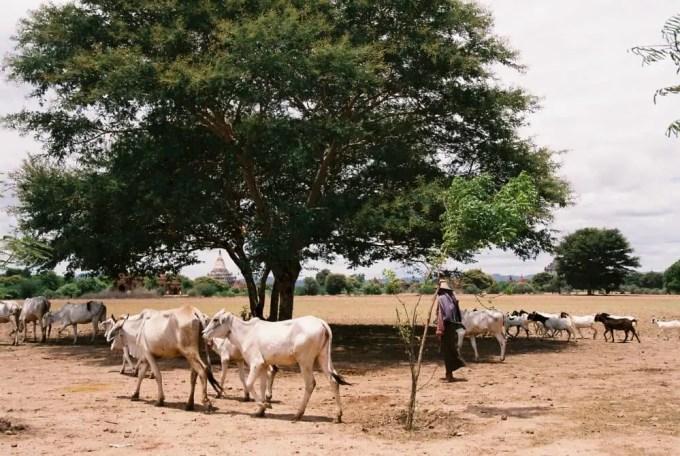 スラマニ寺院近くにいた牛たち 【バガン遺跡】【ミャンマー(バガン)】