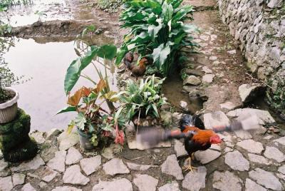 フィリピン、バナウェ。バナウェビューポイントに居たにわとり
