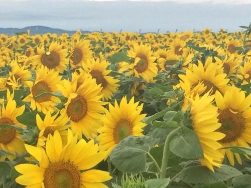 女満別ひまわり畑、北海道