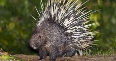 Image result for porcupine