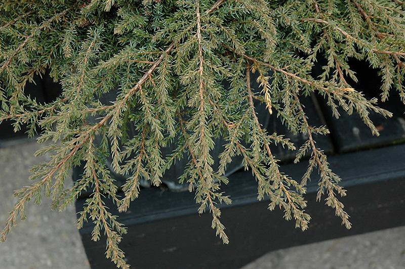 Green Carpet Juniper (Juniperus communis 'Green Carpet