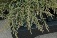 Green Carpet Juniper (Juniperus communis 'Green Carpet ...