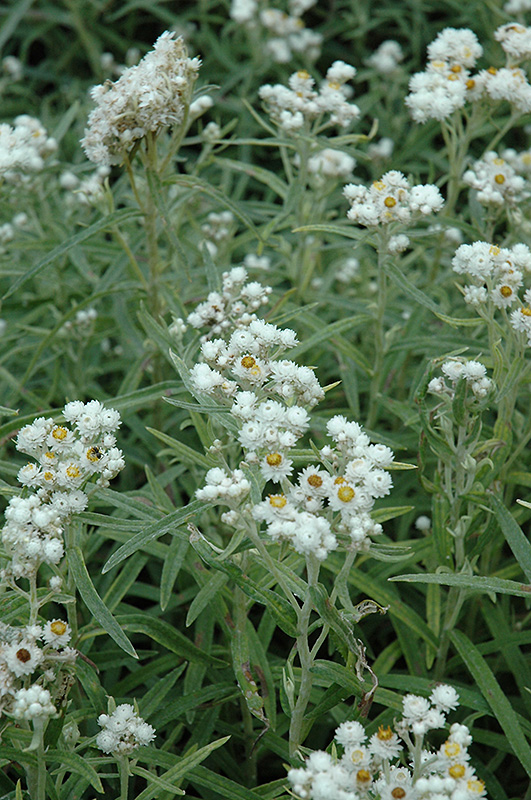 Pearly Everlasting Anaphalis margaritacea in Winnipeg