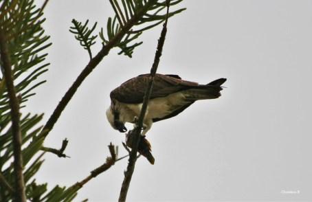 Eastern Osprey feeding at Rottnest Island