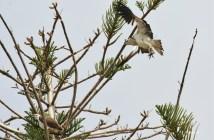 Eastern Ospreys at Rottnest Island